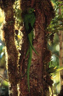 Quetzal in a tree in the Monteverde Cloud Forest in Costa Rica.