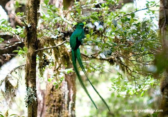 Resplendent Quetzal in Savegre, Costa Rica.
