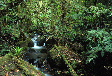 A cloud forest habitat in Costa Rica's central highlands.