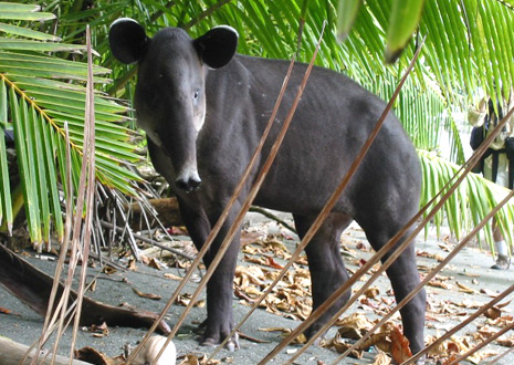 Tapir in Corcovado National Park.