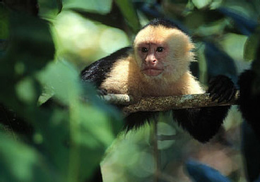 White-faced Monkey in Corcovado National Park on the Osa Peninsula in Costa Rica.