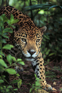 Jaguar in the Corcovado rainforest on the Osa Peninsula, Costa Rica.