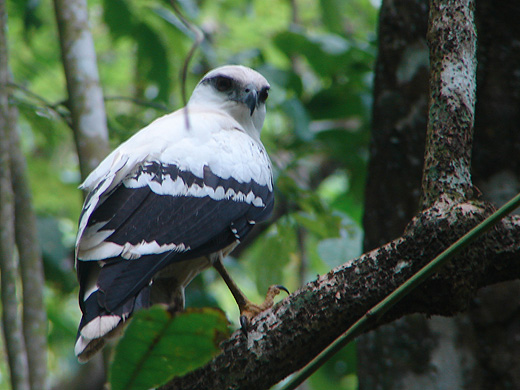 White Hawk in Corcovado, Costa Rica.