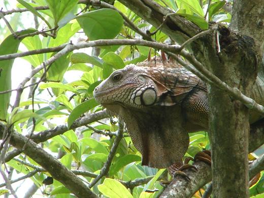 Iguana in Corcovado, Costa Rica.
