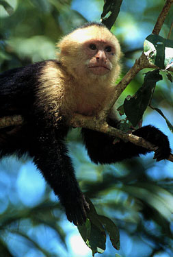 White faced monkey in Manuel Antonio, Costa Rica.