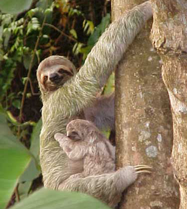 Three-toed Sloth in Manuel Antonio in Costa Rica.