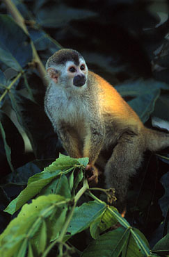 Squirrel Monkey in the rainforest of Costa Rica.