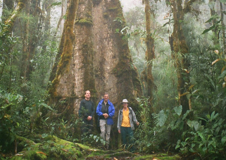 A giant tree in the Monteverde Cloud Forest.
