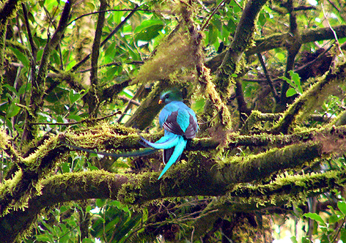 Quetzal in the Monteverde Cloud Forest in Costa Rica.