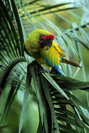 Great Green Macaw in Tortuguero, Costa Rica.