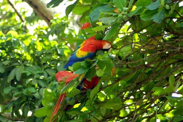 Scarlet Macaw found on Corcovado & Osa Peninsula in Costa Rica
