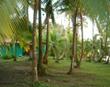 Tortuguero Palms