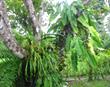 Bromeliad, Drake Bay