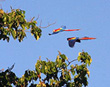 Macaws flying overhead