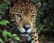 Jaguar (Felis once)