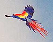 Macaw in flight